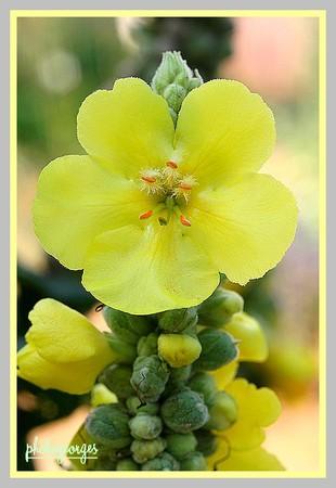 t-Bouillon_blanc_en_fleur