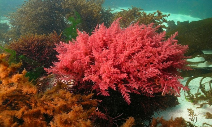 agar-agar une algue rouge